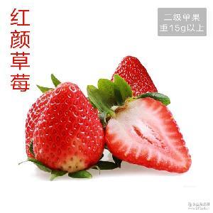 果种15以上 四川基地直供特价批发巧克力新鲜草莓现摘现发二级