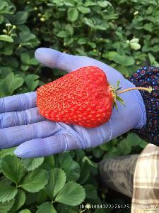 99 丹东草莓 九九草莓 丹东久久秸秆草莓