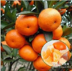 批发 蜜桔 橘子 年桔 广东四会沙糖桔 砂糖桔 大量整车出口 代购
