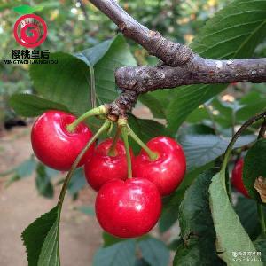 现货新鲜红灯 产地直销批发 大樱桃 当天采摘发货 3斤装 樱桃