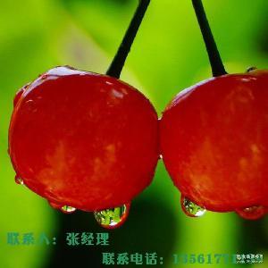 現摘現發 新鮮水果 大量批發櫻桃 順豐包郵 新鮮采摘櫻桃