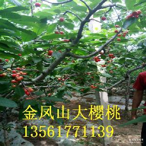新鮮紅燈 果園直發 直銷大櫻桃 櫻桃水果批發 基地銷售櫻桃