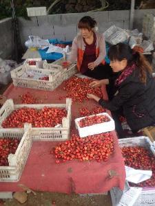 当季新鲜樱桃 特价供应酸甜可口新鲜樱桃$ 长期供应果肉饱满樱桃