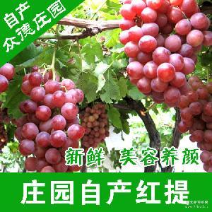 新鮮紅提葡萄批發 量大從優 海陽基地直供無公害