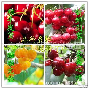 脆甜大樱桃新鲜供应 樱桃园现摘现发保证新鲜 大樱桃品种纯正