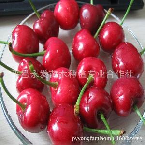 果园直销新鲜大樱桃3斤装大红灯樱桃果大肉甜现摘现卖量大优惠