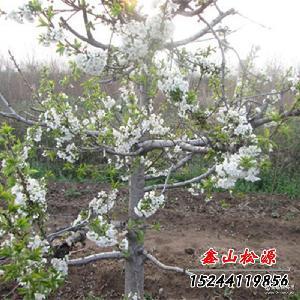 品种纯正 新鲜供应脆甜大樱桃 樱桃园现摘现发保证新鲜 酸甜可口