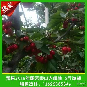 直销供应红灯大樱桃 5斤包邮 新鲜大樱桃 预售现采摘新鲜樱桃