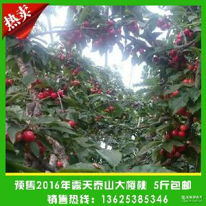 新鲜采摘 泰安特产个大肉厚香甜可口红灯大樱桃 预售新鲜大樱桃