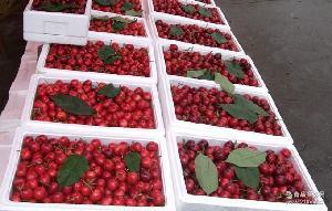 基地直销味甜个大新鲜大樱桃 欢迎订购 现货采摘红灯樱桃