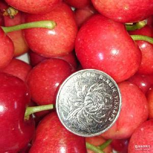 现采摘 特级大樱桃 大量销售新鲜大樱桃 美味酸甜美早大樱桃