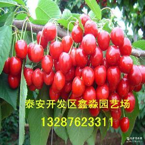 新鲜大樱桃 基地出售樱桃果 当天采摘当天发货 新鲜采摘樱桃果