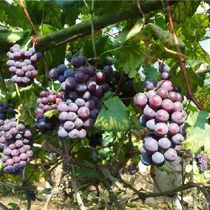 340包邮 十五斤装 广西灵川万亩葡园基地直供漓香牌巨峰葡萄