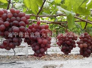 优惠价大量批发优质红地球葡萄 ,60 红提 ,62