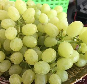 吐鲁番葡萄 新鲜葡萄 一件代发 【新疆】吐鲁番无核白 葡萄