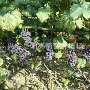 专业生产新鲜葡萄 高品质葡萄 新鲜巨峰葡萄
