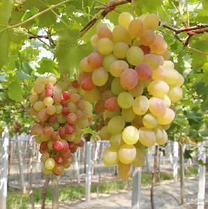 红罗莎葡萄精品4斤装 野藤葡萄 新鲜葡萄江南吐鲁番上虞直供新鲜