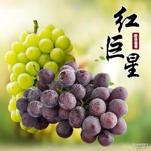 上虞红富士巨峰葡萄混合4斤装 新鲜时令水果 野藤葡萄 现摘现发