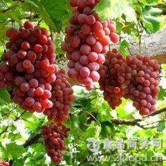 果园葡萄 甜而不腻2.5公斤装 香甜多汁 新鲜葡萄