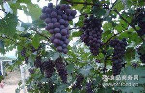夏黑葡萄2.5公斤 果味香甜 新鲜葡萄