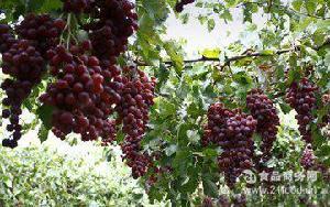 新鲜葡萄采摘 一件代发新鲜美味 济南乡情缘