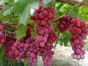 红宝石葡萄 精装新鲜葡萄 果肉甜美