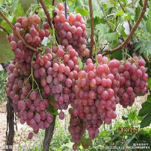 新鲜葡萄 优质巨峰葡萄 价格适中 现货散装出售 大棚有机绿色葡萄