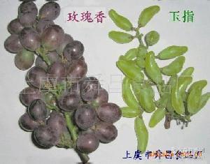 供应优质品种富硒新鲜提子【新鲜葡萄】