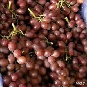 葡萄无籽无核国产红提新鲜葡萄无子提子新鲜营养美味健康