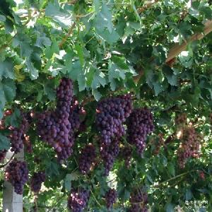 甘甜多汁 新鲜葡萄 新鲜水果 产地直销 果农果园现摘现发