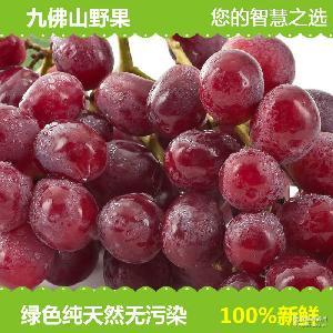 现货红提批发 现摘现发 新鲜葡萄 九佛山原产地直销 纯天然种植