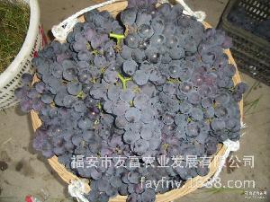 量大从优 福安市友富农业发展有限公司销售新鲜葡萄 自家果园出品