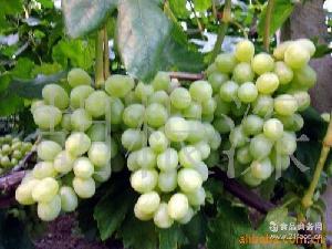 现货发送 红地球 供应比昂扣新鲜葡萄 夏季鲜果葡萄售卖