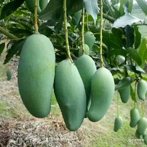 广西百色桂七芒果 大果5斤装 优质新鲜水果青皮桂七香芒果