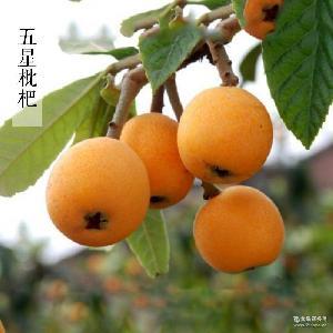 新鮮上市 枇杷水果 四川特產 原生態綠色水果 五星枇杷 自家果園