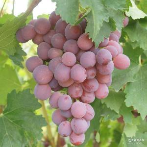 新鲜葡萄送礼佳品 新鲜水果红提子 新疆特产葡萄 冷藏冰袋2kg/箱