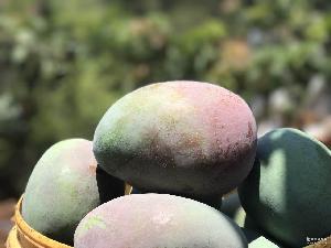 四川攀枝花青皮凱特大芒果現摘新鮮水果8斤包郵一件代發招代理