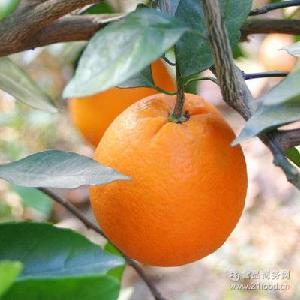 新鲜水果 包邮 现摘现发 10斤 甜橙子榨汁 湖北宜昌特产伦晚脐橙