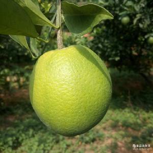 美味超甜橙子原產地批發 新鮮水果贛南臍橙直銷 江西贛南臍橙特產