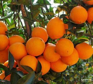 精品15斤特惠装 产地直供新鲜橙子安远甜橙 正宗赣南脐橙
