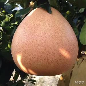三红蜜柚新鲜水果 正宗音加农庄 平和三红蜜柚批发 平和柚子