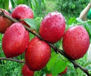 126大棚油桃批发价格行情126油桃价格