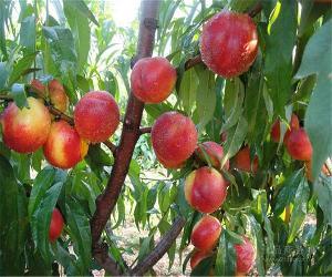 大棚油桃产自哪里大棚油桃种植基地