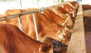 肉牛一头多少钱