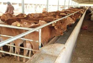 哪有卖牛犊的