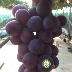 早熟葡萄苗 早熟大棚葡萄苗新品种