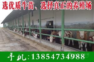 西门塔尔犊牛
