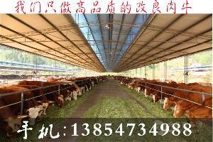 魯西牛犢價格