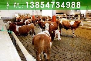 新疆肉牛养殖场