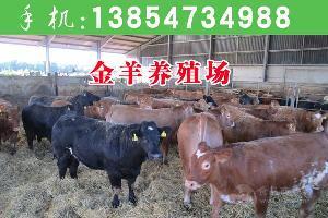 近魯西黃牛價格